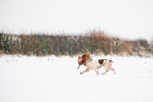 Working Gundog retrieving a pheasant