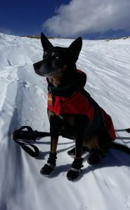 Australian Kelpie mix with snow booties and jacket taken at St. Mary's Glacier on a hike up to James Peak in Colorado