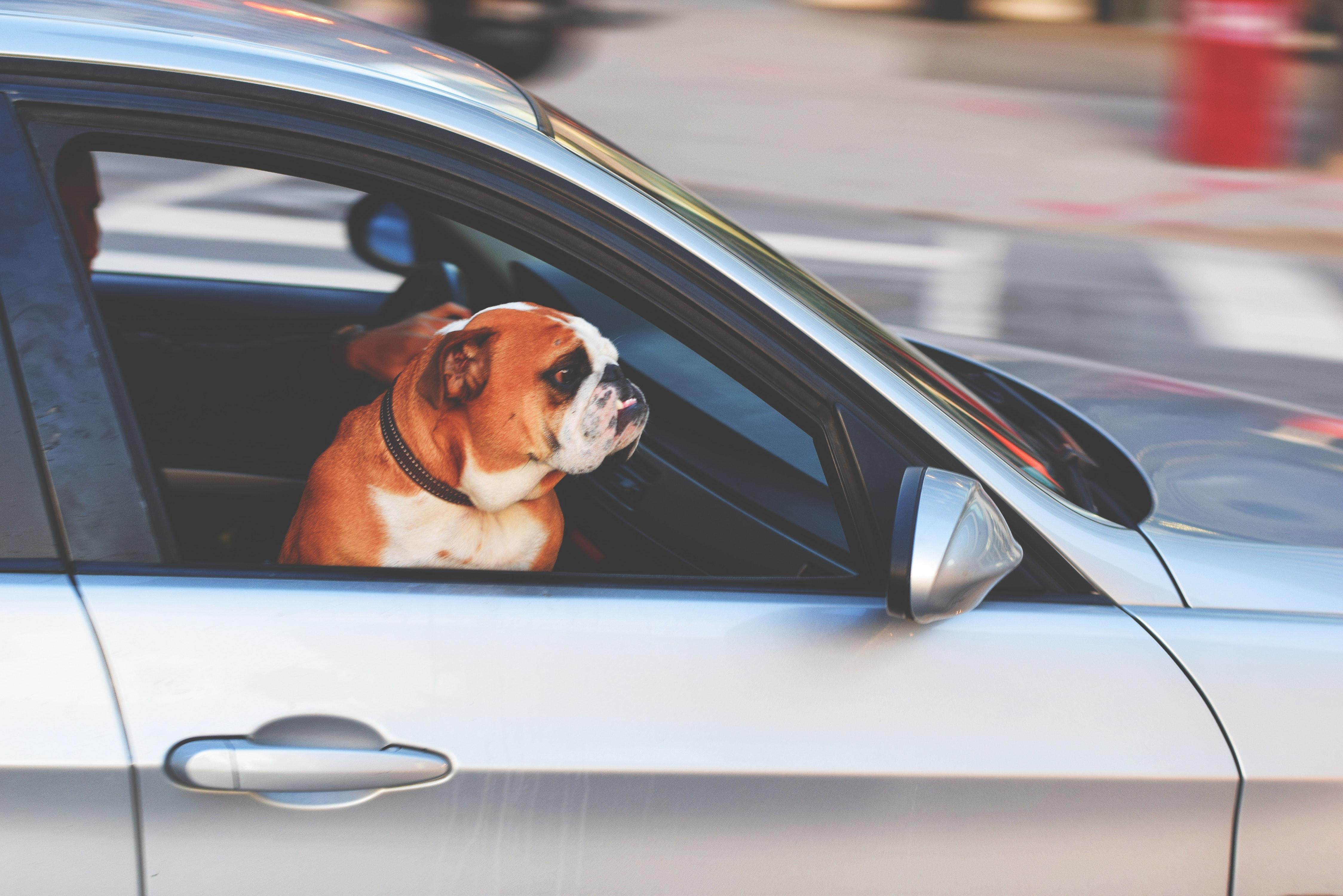 Bulldog i forsetet på bilen